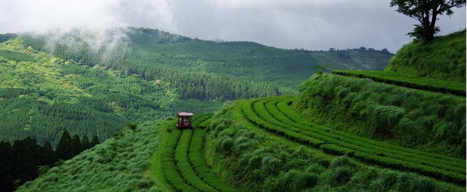 有機栽培の茶畑